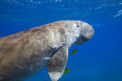 Dugong dugon sea cow floating in sea Royalty Free Stock Photography