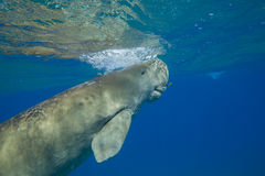 Dugong dugon sea cow floating in water column in sea Royalty Free Stock Photo