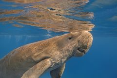 Dugong dugon seacow or sea cow close up swimming in the tropic Stock Photography