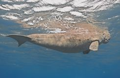 Dugong dugon seacow or sea cow swimming in the tropical sea wa Royalty Free Stock Images