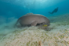 Free Dugong (dugong Dugon) Or Seacow In The Red Sea. Royalty Free Stock Image - 28769396