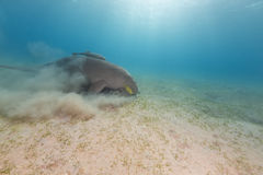 Dugong (dugong dugon) or seacow in the Red Sea. Royalty Free Stock Image