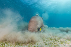 Dugong (dugong dugon) or seacow in the Red Sea. Stock Photos
