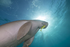 Dugong (dugong dugon) or seacow in the Red Sea. Royalty Free Stock Images