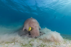 Dugong (dugong dugon) or seacow in the Red Sea. Royalty Free Stock Photography