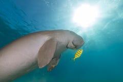 Dugong (dugongdugon) eller seacow i Röda havet. Arkivbilder