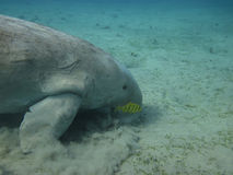 Dugong eating on the sea bottom Stock Photography