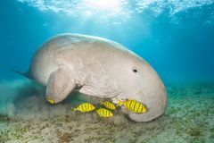 Free Dugong In A Sea Grass Meadow Surrounded By Yellow Pilot Fish Stock Photo - 129634300