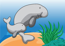Dugong. Manatees swimming in the ocean Stock Photography