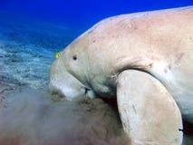 Dugong och gul pilot--fisk Fotografering för Bildbyråer
