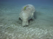 Dugong on the sea bottom Stock Photos