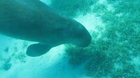 Dugong in sea stock video