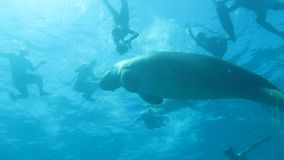 Dugong in sea stock footage