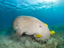 Dugong in a sea grass meadow surrounded by yellow pilot fish. Red Sea, Egypt stock images