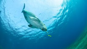 Dugong with a small yellow pilot fish royalty free stock photography