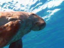 Dugong som vets som havsko i det röda havet i egipt Arkivbilder