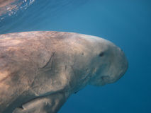Dugong swimming in the sea Stock Images