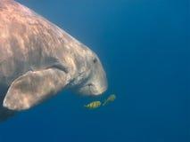 Dugongschwimmen im Meer stockfoto