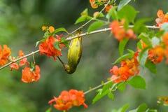 Duidelijk Sunbird (Anthreptes-simplex) met de bloem in aard Royalty-vrije Stock Afbeeldingen