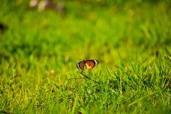 Duidelijk Tiger Butterfly in green stock afbeeldingen