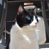 Duidelijke blauwe eyed zwart-witte kat stock afbeeldingen