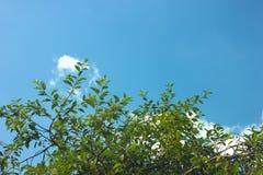 Duidelijke blauwe hemel met sommige kleine wolken achter kersenboom stock afbeelding
