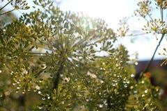 Duidelijke dauw op de groene dilleparaplu's stock foto's