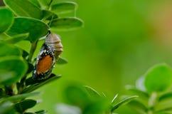 Duidelijke de tijgervlinder van poppen royalty-vrije stock afbeelding