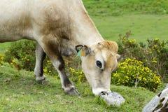 Duidelijke koe Stock Afbeeldingen