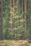 duidelijke ochtend in het hout sparren en pijnboomboombos met tru royalty-vrije stock afbeeldingen