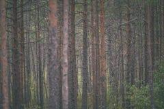 duidelijke ochtend in het hout sparren en pijnboomboombos met tru stock afbeeldingen