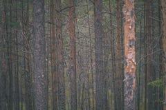 duidelijke ochtend in het hout sparren en pijnboomboombos met tru royalty-vrije stock afbeelding