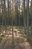 duidelijke ochtend in het hout sparren en pijnboomboombos met tru stock fotografie
