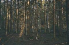 duidelijke ochtend in het hout sparren en pijnboomboombos met tru royalty-vrije stock foto's