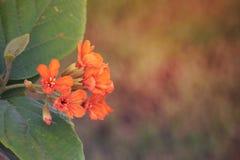 Duidelijke Oranje bloem in de tuin DOUBAI, de V.A.E op 26 JUNI 2017 Stock Afbeelding
