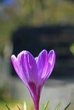 Duidelijke purpere krokus Royalty-vrije Stock Afbeelding