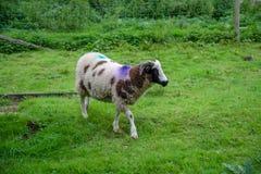 Duidelijke schapen in Cornwall stock afbeeldingen
