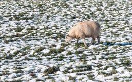 Duidelijke schapen die in een sneeuwweide weiden stock afbeeldingen