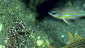 Duidelijke schonere antonbruunii van garnalenurocaridella op het zand in Zoeloes overzees Dumaguete stock videobeelden