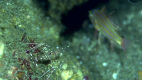 Duidelijke schonere antonbruunii van garnalenurocaridella op het zand in Zoeloes overzees Dumaguete stock video