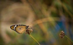 Duidelijke Tijger of Afrikaanse Monarchvlinder Stock Fotografie