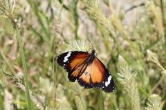 Duidelijke Tijger met open vleugels op het noordelijke Grondgebied van Australië Stock Foto