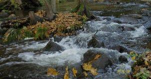 Duidelijke Waterkreek die door Autumn Forest With Yellow Leaves stromen stock footage