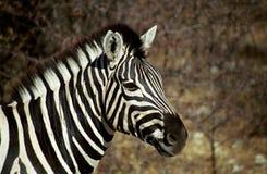 Duidelijke zebra, Etosha, Namibië royalty-vrije stock afbeeldingen