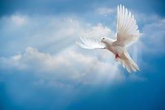 Duif in de lucht met vleugels brede open