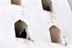 Duif in de muur Stock Foto