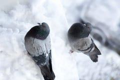 Duif in de sneeuw Stock Foto