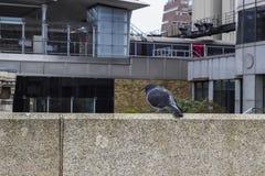 Duif in de stad van Londen Royalty-vrije Stock Fotografie