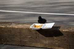 Duif die Fast-Food eten Royalty-vrije Stock Fotografie