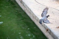 Duif die op de rand van de pool in openbaar park vliegen te landen Stock Afbeeldingen